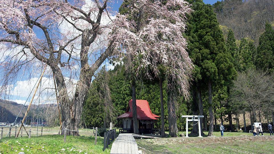 오시라사마의 수양벚나무 - Oshira-sama's Weeping Cherry