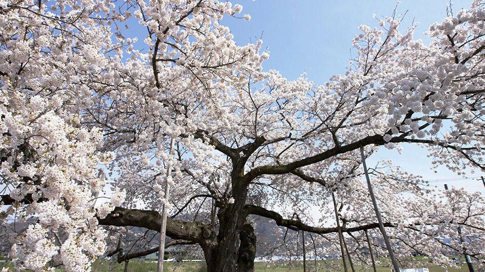 교쿠쇼 벚나무 - Kyokusho Sakura