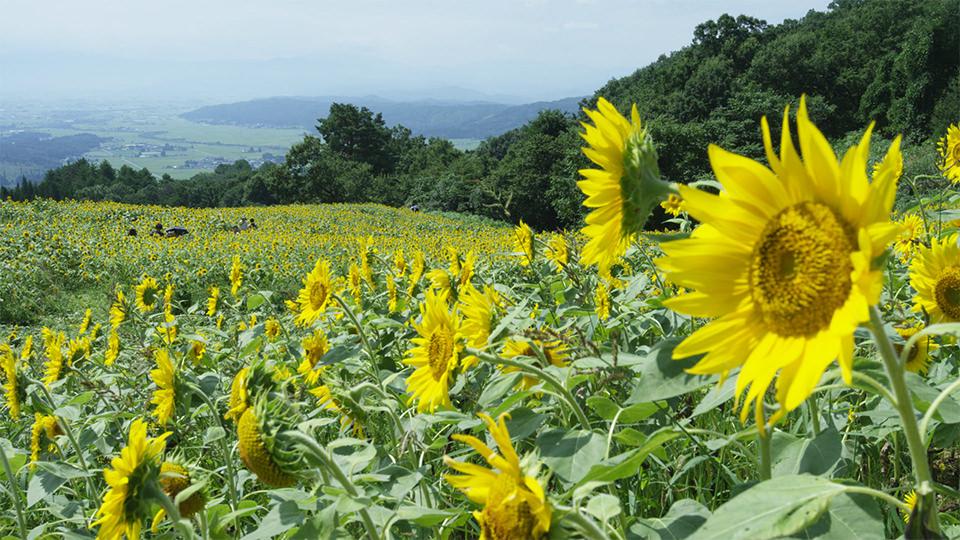 ทุ่งทานตะวันซันโนะคุระโคเก็น - Sannokura Plateau (Sunflower Field)