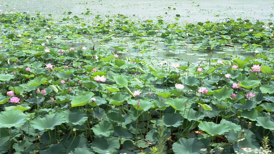 伊豆沼(蓮) - Izunuma Lake (Lotus Flowers)