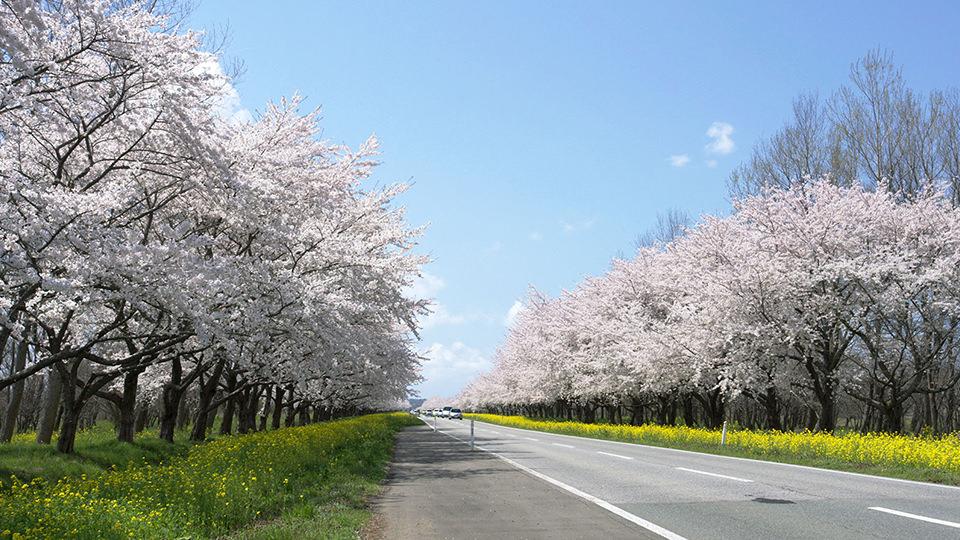 ถนนสายซากุระและดอกนาโนะฮานะ - Cherry and Rapeseed Blossom Road