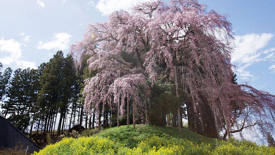 전투장의 한 그루 벚나무 - Kassenba no Ipponzakura