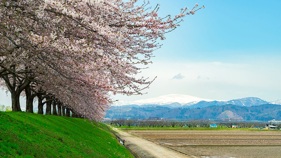 Sagae River Cherry Blossoms  - 寒河江川の桜並木